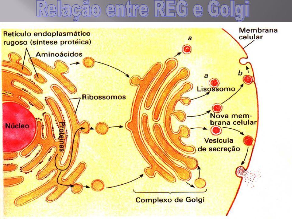 Relação entre REG e Golgi