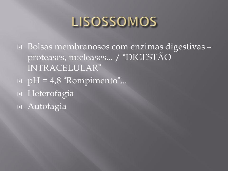 LISOSSOMOS Bolsas membranosos com enzimas digestivas – proteases, nucleases... / DIGESTÃO INTRACELULAR