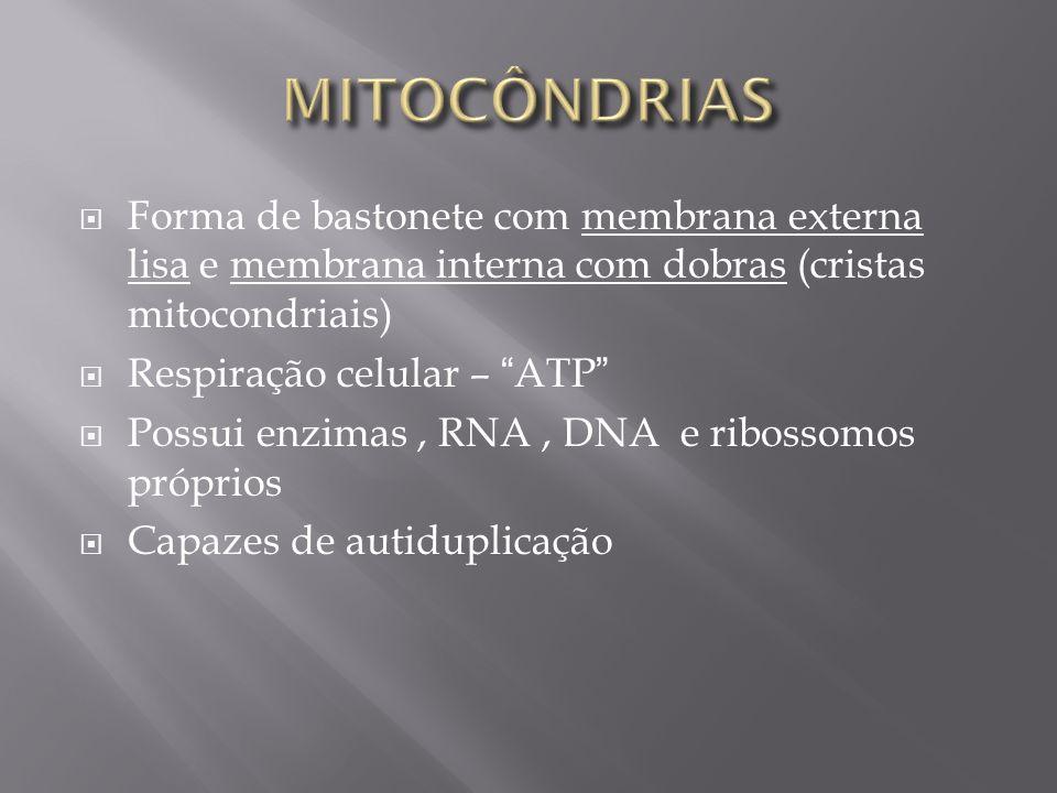 MITOCÔNDRIAS Forma de bastonete com membrana externa lisa e membrana interna com dobras (cristas mitocondriais)