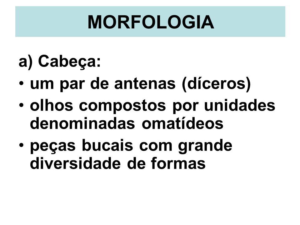 MORFOLOGIA a) Cabeça: um par de antenas (díceros)