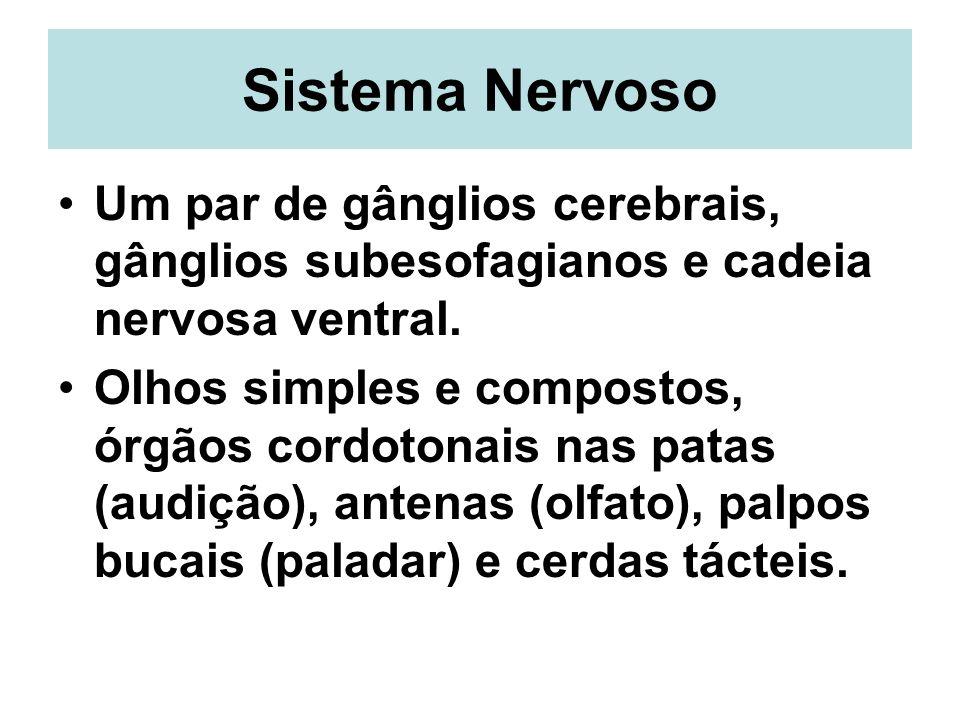 Sistema Nervoso Um par de gânglios cerebrais, gânglios subesofagianos e cadeia nervosa ventral.