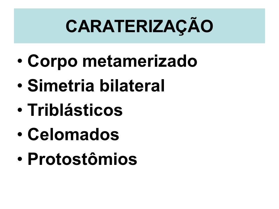 CARATERIZAÇÃO Corpo metamerizado Simetria bilateral Triblásticos Celomados Protostômios