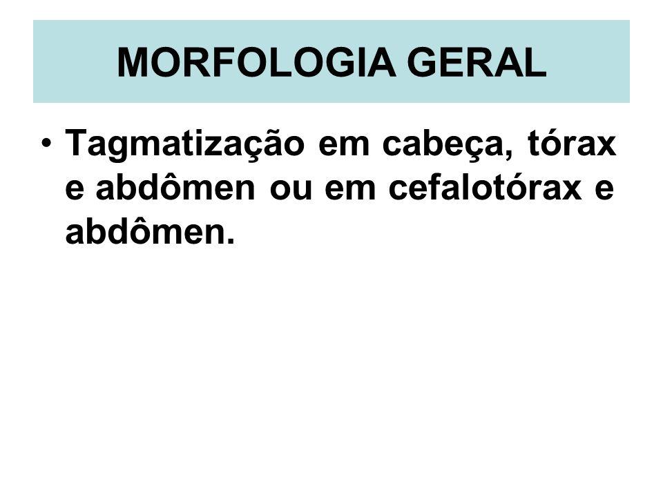 MORFOLOGIA GERAL Tagmatização em cabeça, tórax e abdômen ou em cefalotórax e abdômen.