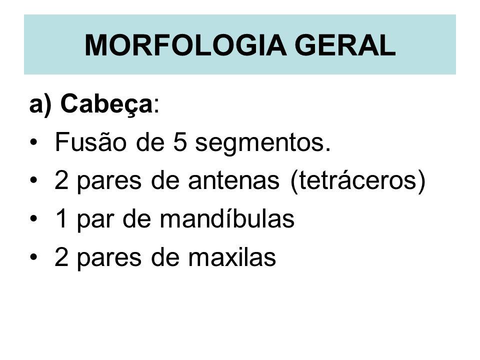 MORFOLOGIA GERAL a) Cabeça: Fusão de 5 segmentos.