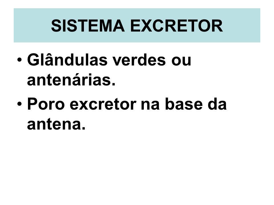 SISTEMA EXCRETOR Glândulas verdes ou antenárias. Poro excretor na base da antena.