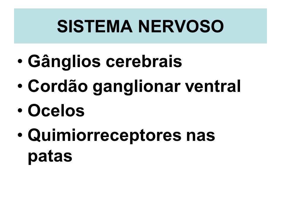 SISTEMA NERVOSO Gânglios cerebrais Cordão ganglionar ventral Ocelos Quimiorreceptores nas patas