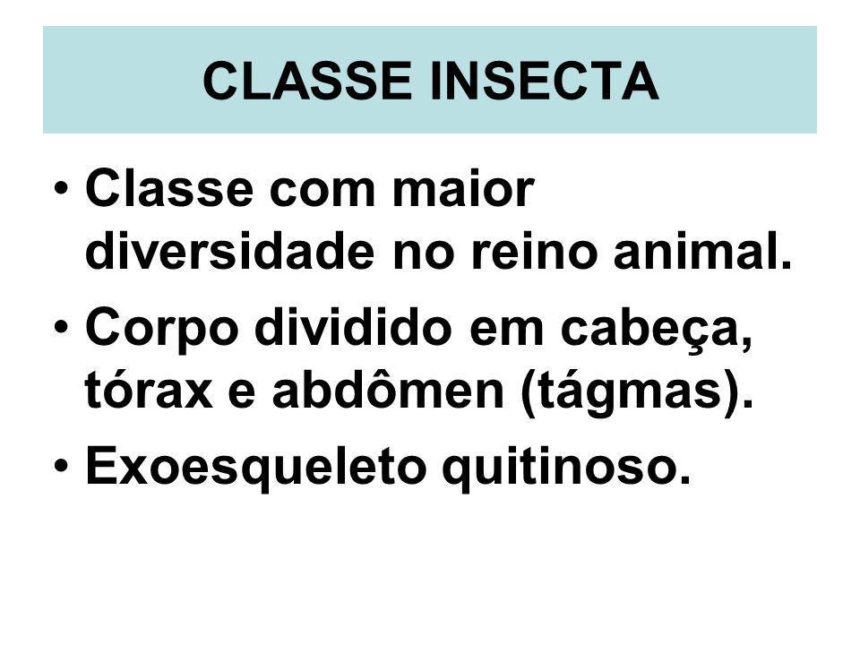 CLASSE INSECTA Classe com maior diversidade no reino animal. Corpo dividido em cabeça, tórax e abdômen (tágmas).