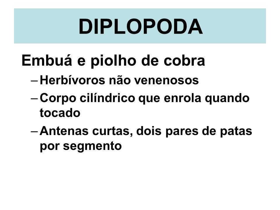DIPLOPODA Embuá e piolho de cobra Herbívoros não venenosos