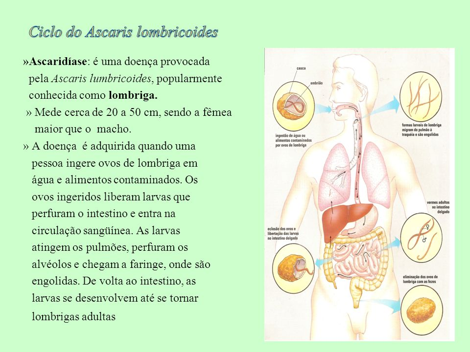 Ciclo do Ascaris lombricoides