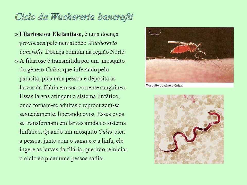 Ciclo da Wuchereria bancrofti