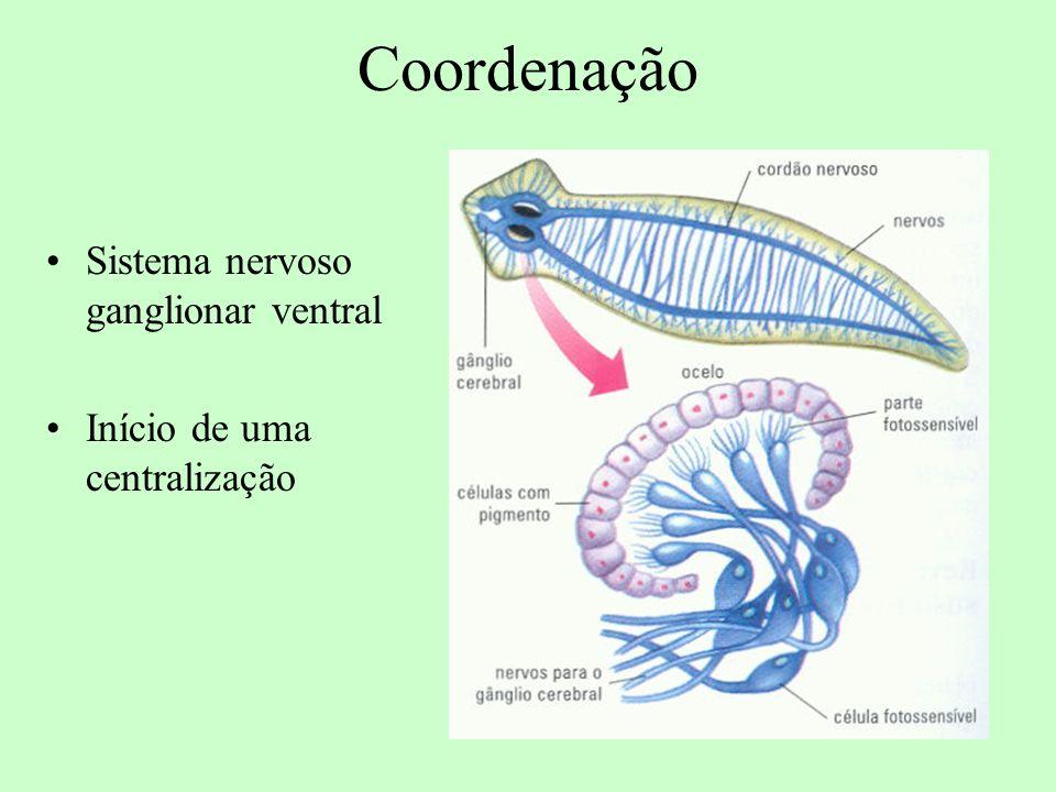Coordenação Sistema nervoso ganglionar ventral