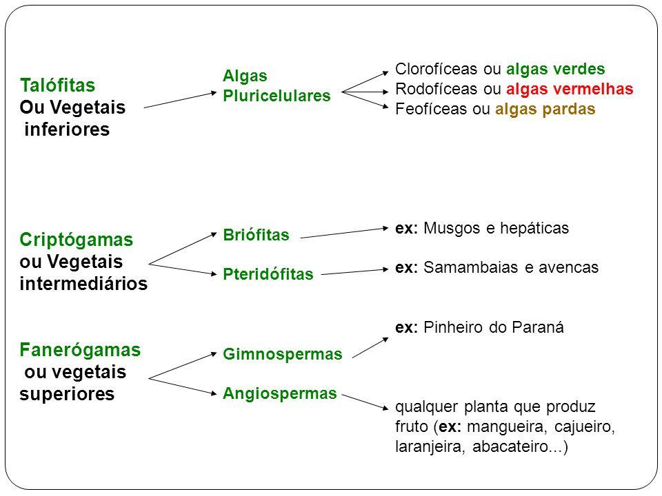 Talófitas Ou Vegetais inferiores Criptógamas ou Vegetais