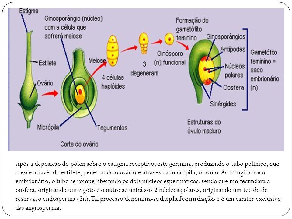 Após a deposição do pólen sobre o estigma receptivo, este germina, produzindo o tubo polínico, que cresce através do estilete, penetrando o ovário e através da micrópila, o óvulo.