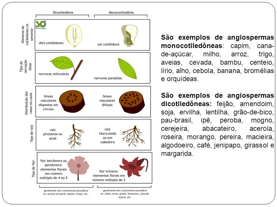 São exemplos de angiospermas monocotiledôneas: capim, cana-de-açúcar, milho, arroz, trigo, aveias, cevada, bambu, centeio, lírio, alho, cebola, banana, bromélias e orquídeas.