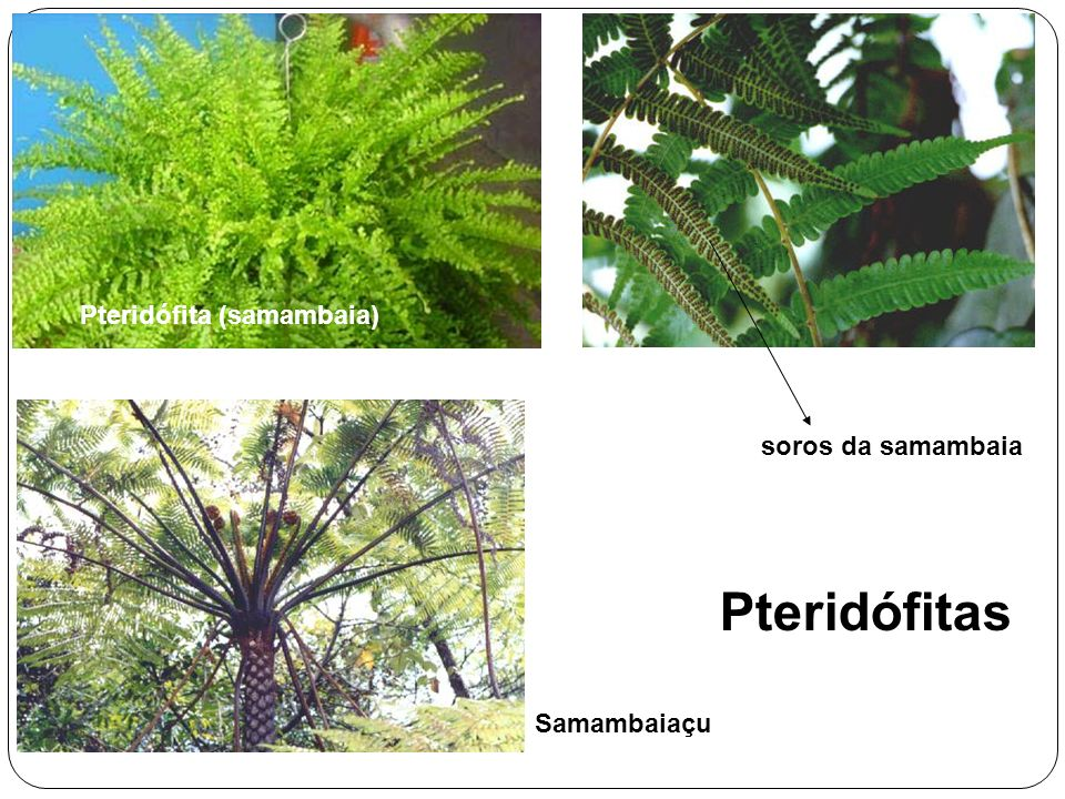 Pteridófita (samambaia)