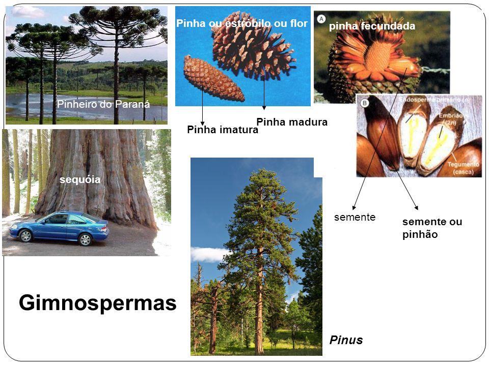Gimnospermas Pinus Pinha ou estróbilo ou flor pinha fecundada