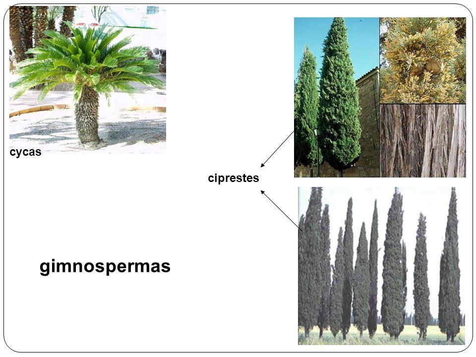 cycas ciprestes gimnospermas