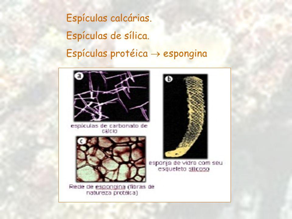 Espículas calcárias. Espículas de sílica. Espículas protéica  espongina