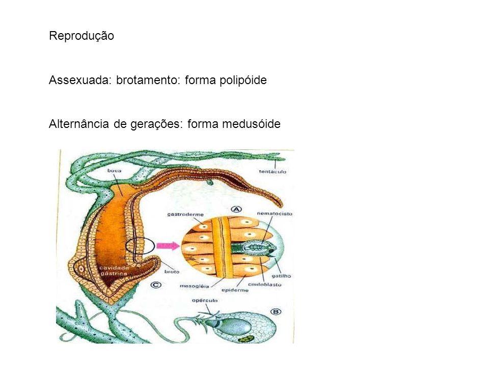 Reprodução Assexuada: brotamento: forma polipóide Alternância de gerações: forma medusóide