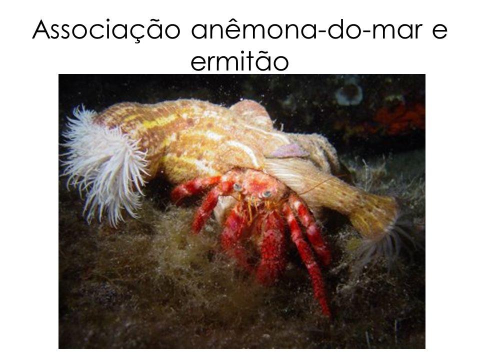 Associação anêmona-do-mar e ermitão