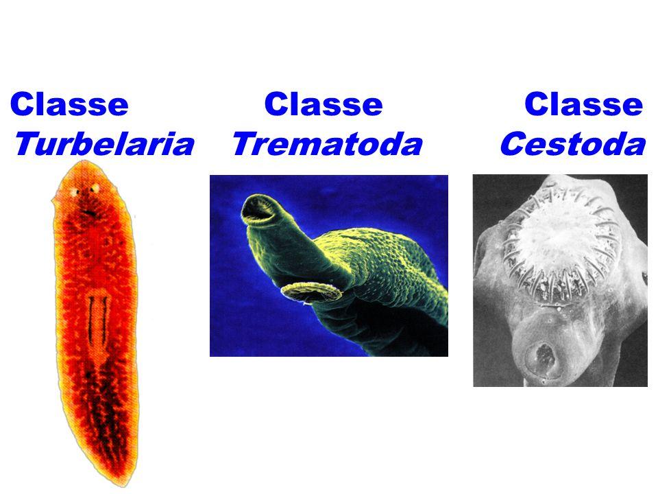Classificação: Classe Turbelaria Classe Trematoda Classe Cestoda