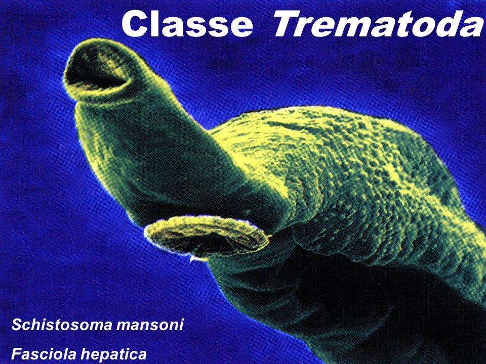 Classe Trematoda Schistosoma mansoni Fasciola hepatica