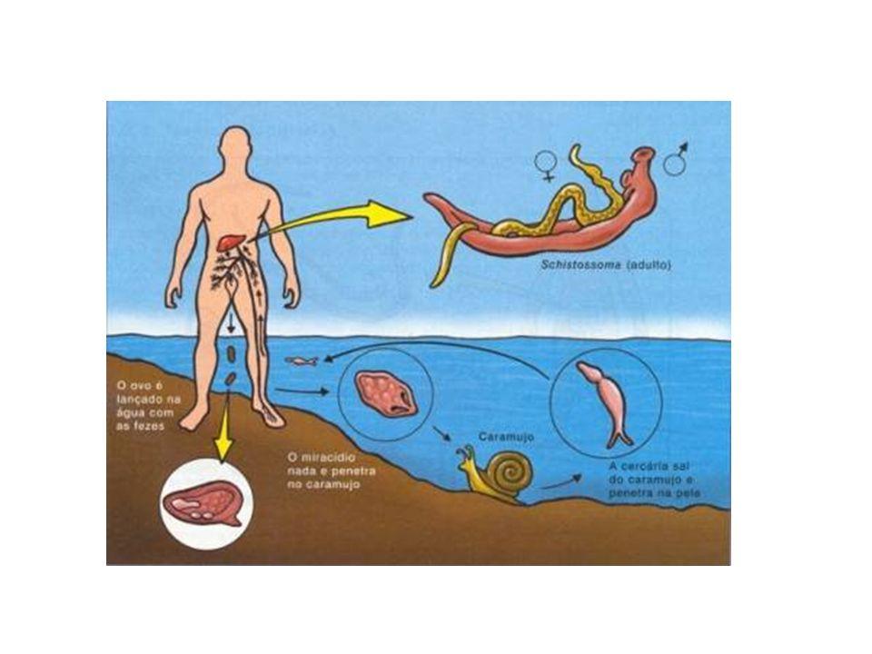 Classe Trematoda Ciclo Schistosoma mansoni