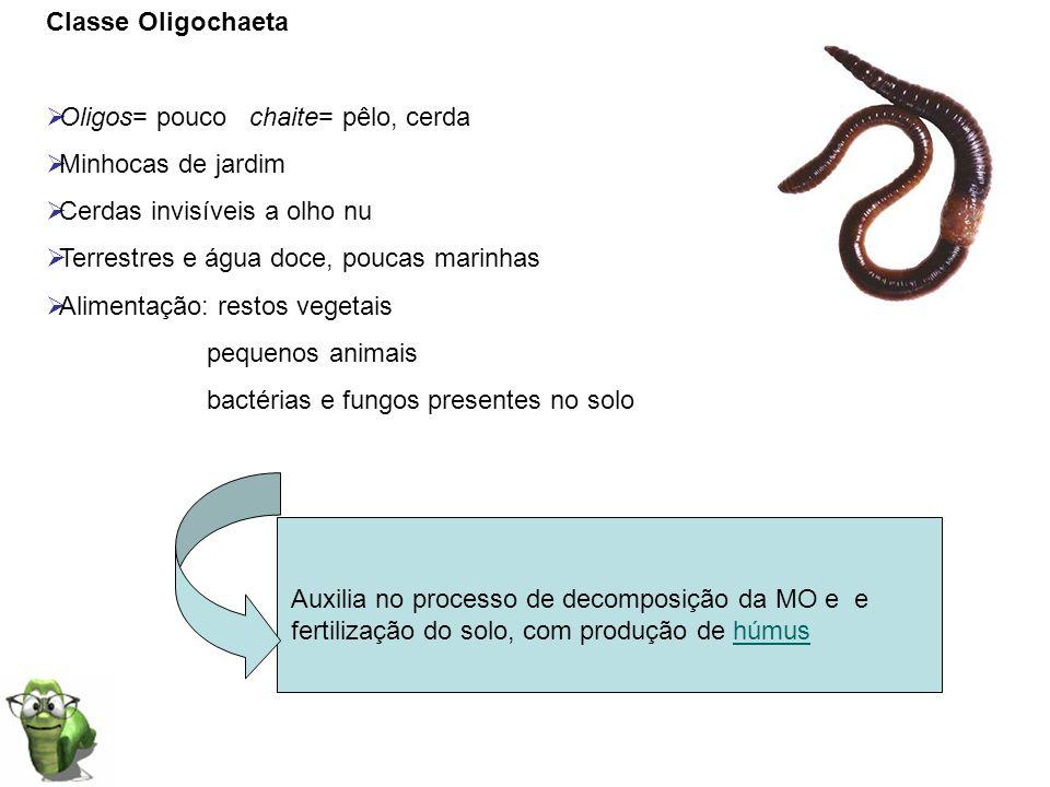 Classe Oligochaeta Oligos= pouco chaite= pêlo, cerda. Minhocas de jardim. Cerdas invisíveis a olho nu.