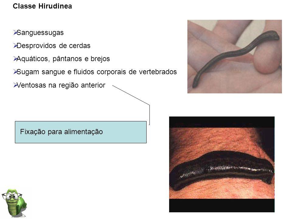 Classe Hirudinea Sanguessugas. Desprovidos de cerdas. Aquáticos, pântanos e brejos. Sugam sangue e fluidos corporais de vertebrados.