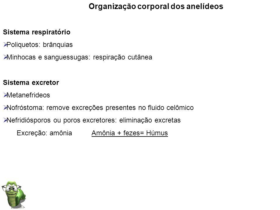 Organização corporal dos anelídeos