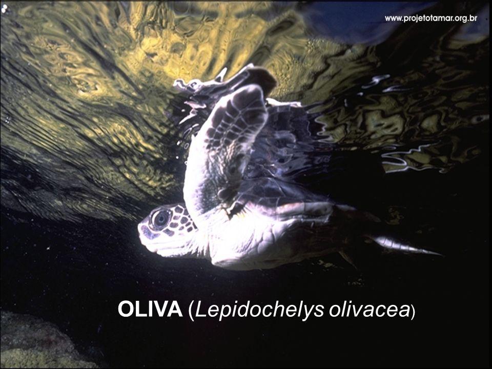 OLIVA (Lepidochelys olivacea)