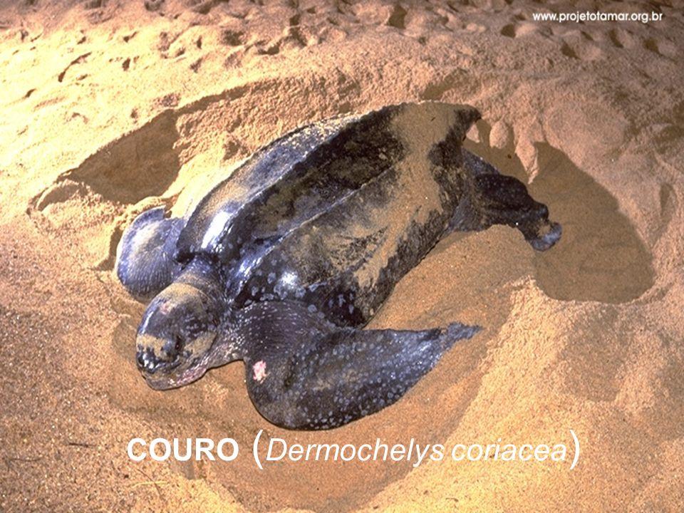 COURO (Dermochelys coriacea)
