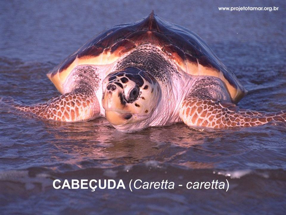 CABEÇUDA (Caretta - caretta)
