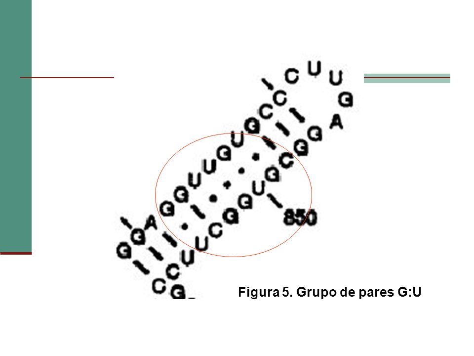 Figura 5. Grupo de pares G:U