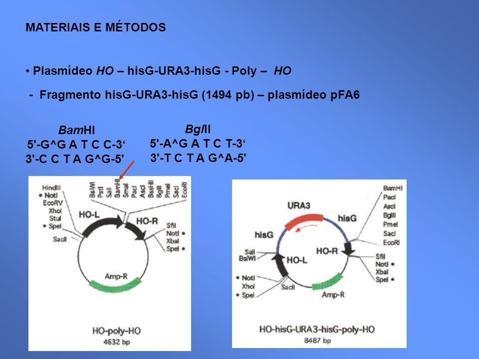 MATERIAIS E MÉTODOS Plasmídeo HO – hisG-URA3-hisG - Poly – HO. - Fragmento hisG-URA3-hisG (1494 pb) – plasmídeo pFA6.