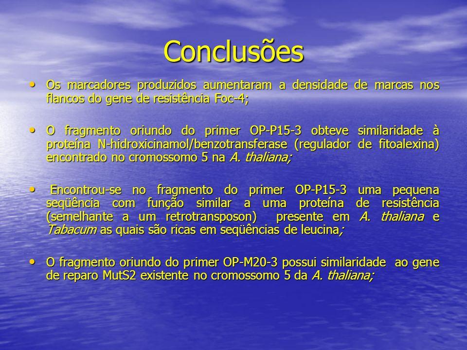 Conclusões Os marcadores produzidos aumentaram a densidade de marcas nos flancos do gene de resistência Foc-4;