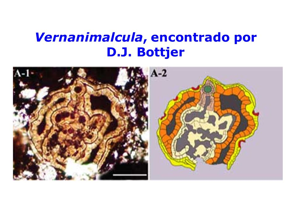Vernanimalcula, encontrado por D.J. Bottjer