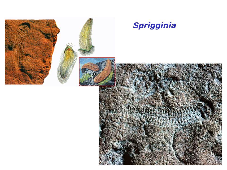 Sprigginia