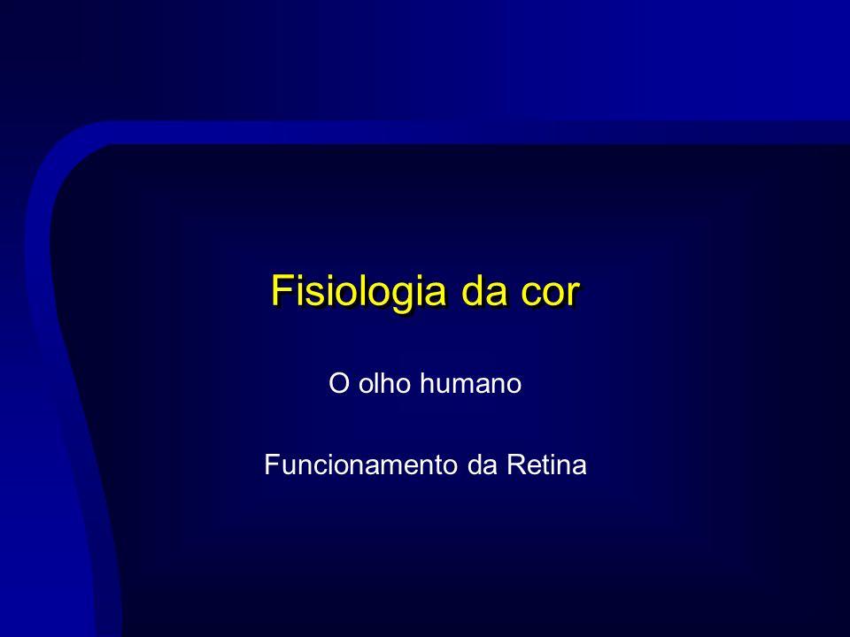 O olho humano Funcionamento da Retina