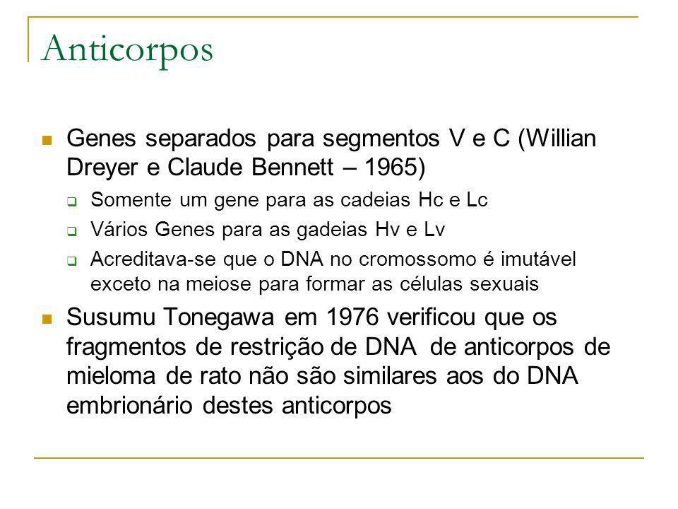 Anticorpos Genes separados para segmentos V e C (Willian Dreyer e Claude Bennett – 1965) Somente um gene para as cadeias Hc e Lc.