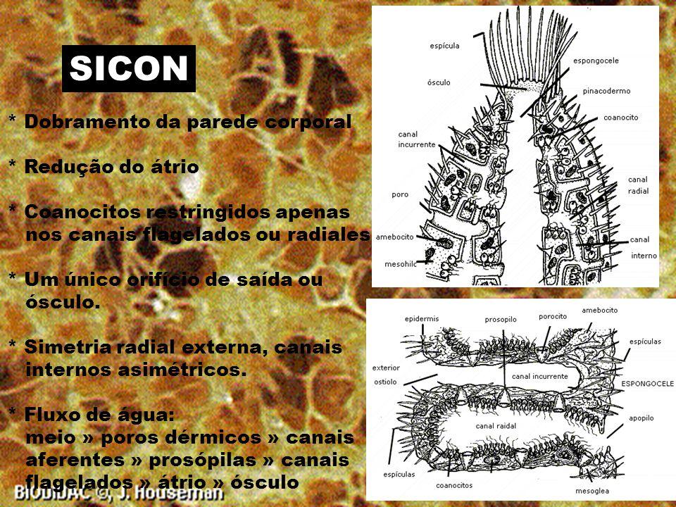 SICON * Dobramento da parede corporal * Redução do átrio