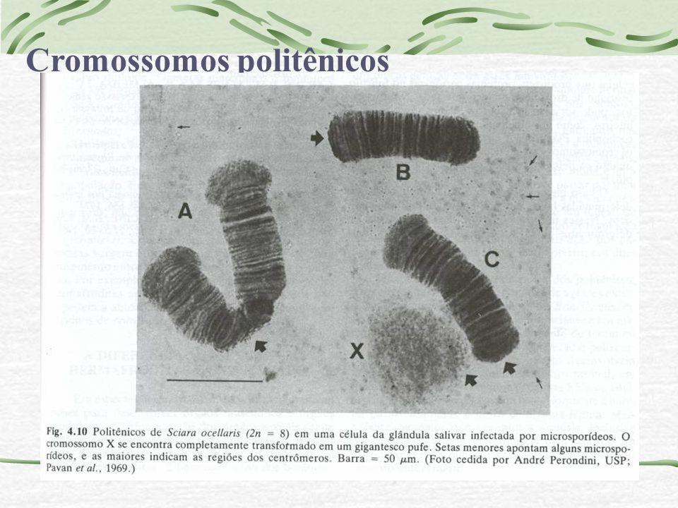 Cromossomos politênicos