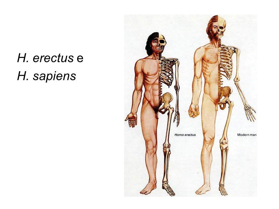 H. erectus e H. sapiens