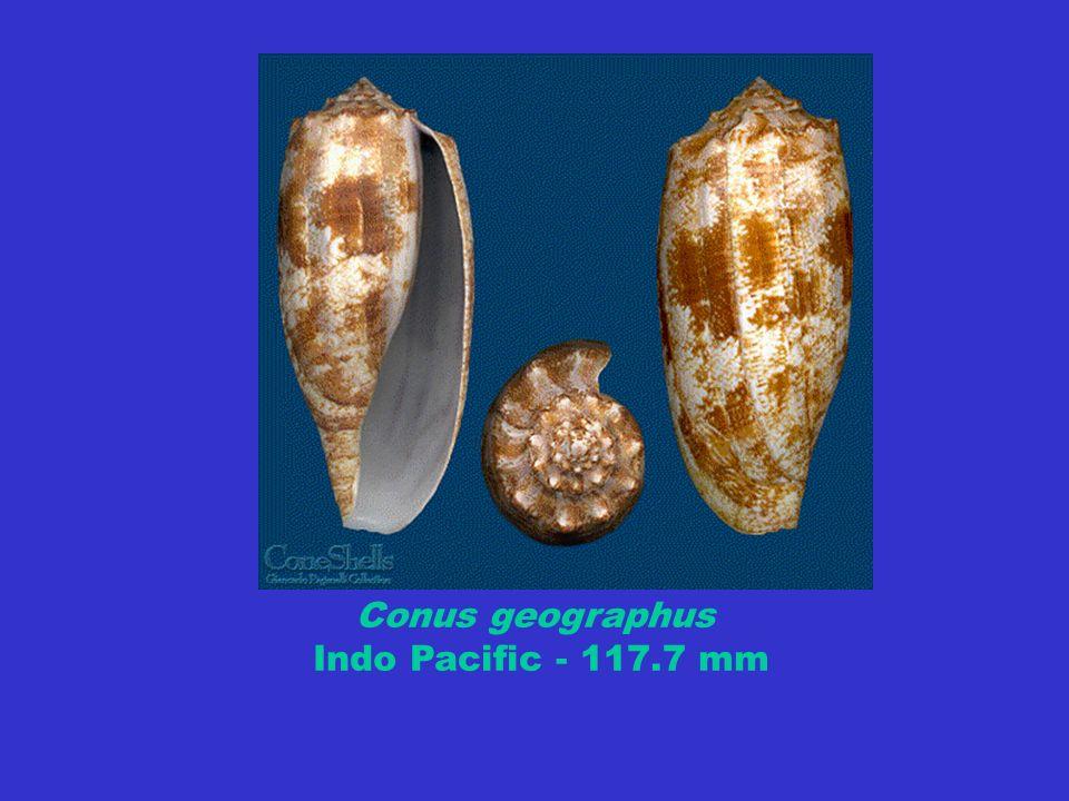 Conus geographus Indo Pacific - 117.7 mm