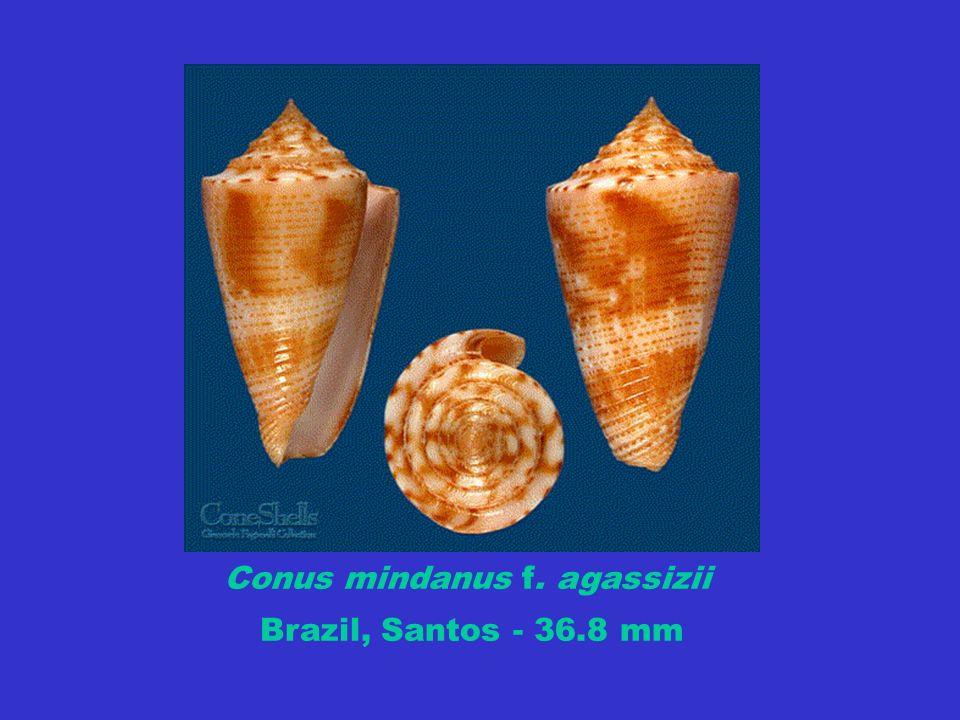 Conus mindanus f. agassizii