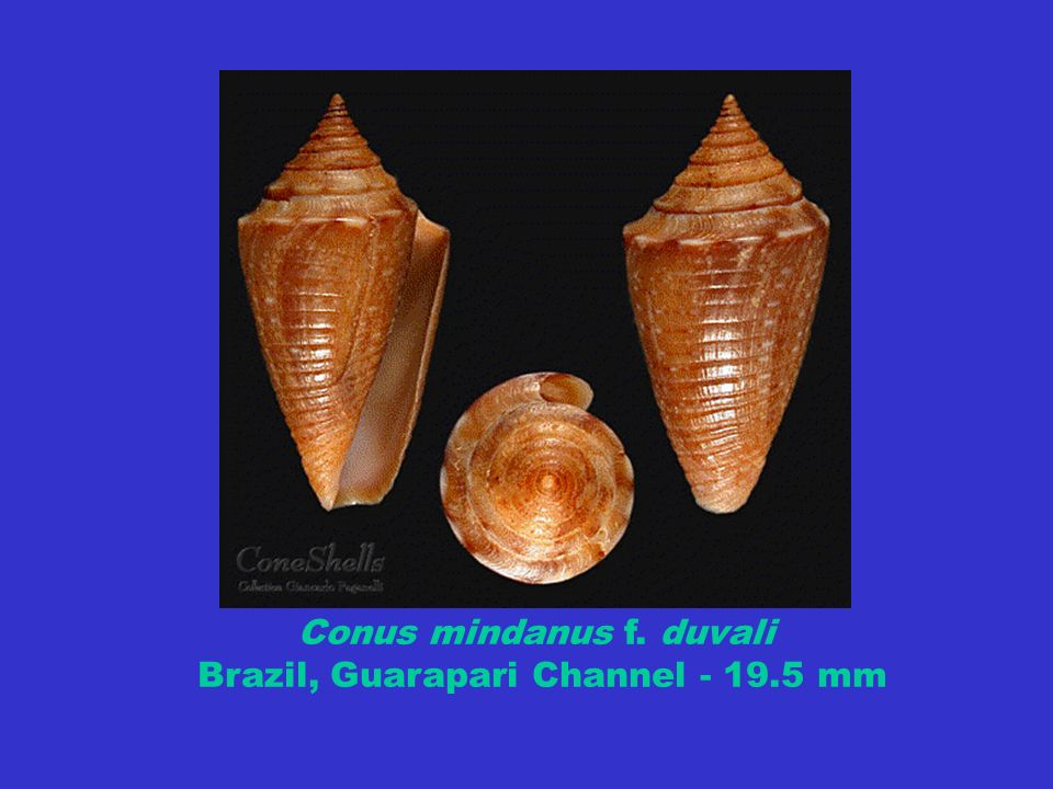 Conus mindanus f. duvali Brazil, Guarapari Channel - 19.5 mm