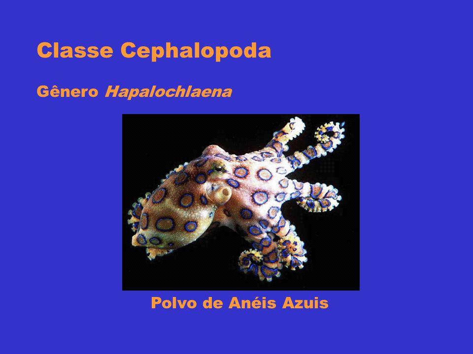 Classe Cephalopoda Gênero Hapalochlaena Polvo de Anéis Azuis