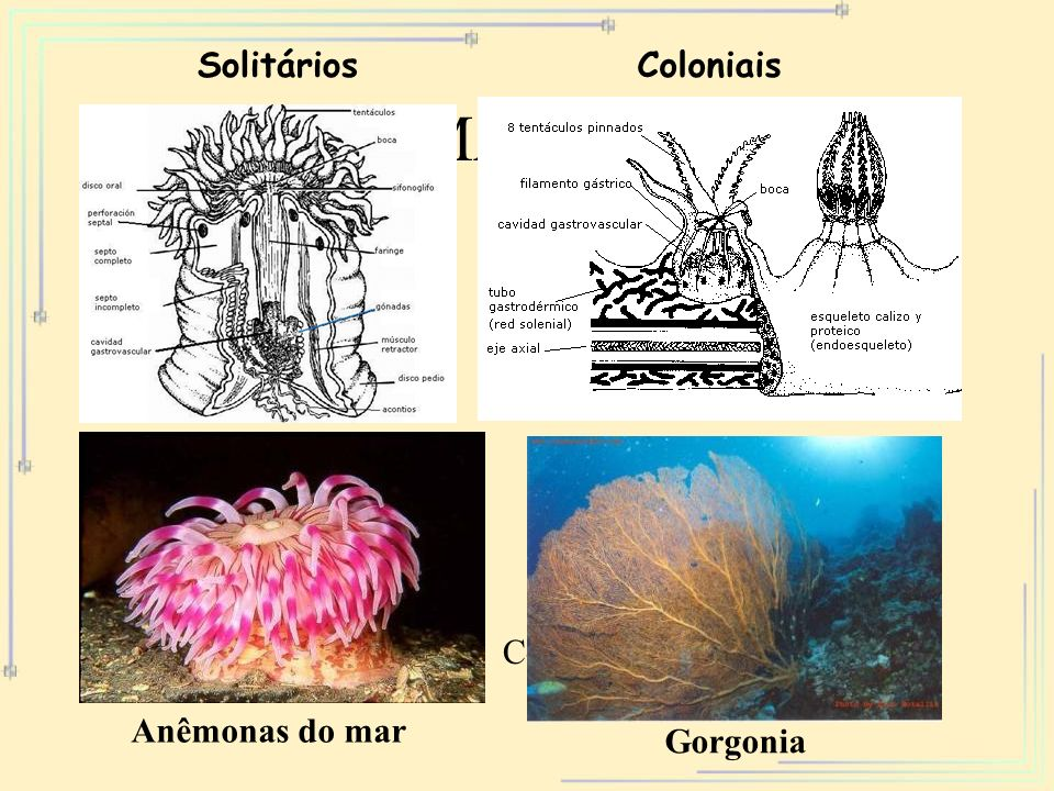 FORMA PÓLIPO Solitários Coloniais Solitário Colonial Anêmonas do mar