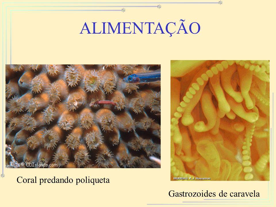 ALIMENTAÇÃO Coral predando poliqueta Gastrozoides de caravela