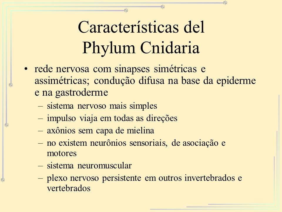 Características del Phylum Cnidaria